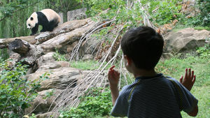 A small child looking at a giant panda at the National Zoo in Washington DC
